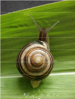 snail-pests